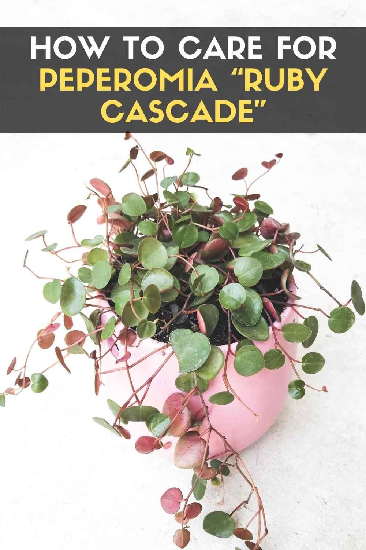 "Peperomia ""Ruby Cascade"""