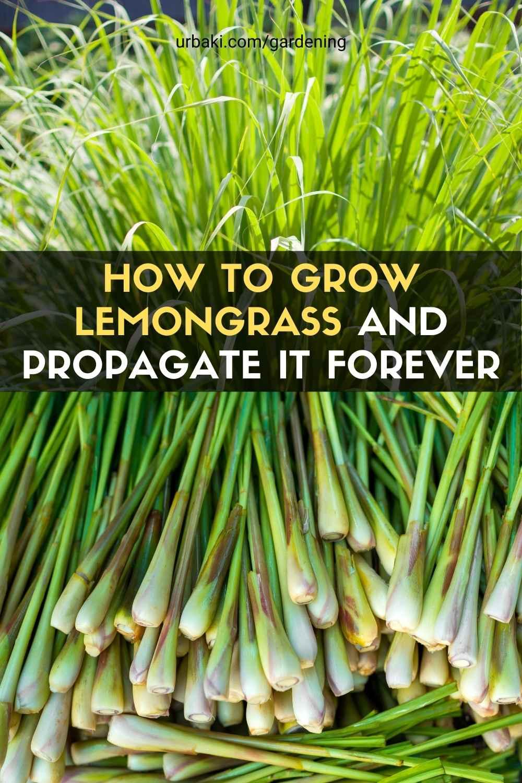 Grow Lemongrass