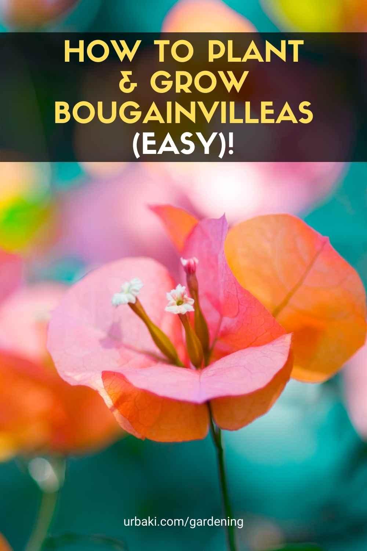 Grow Bougainvilleas