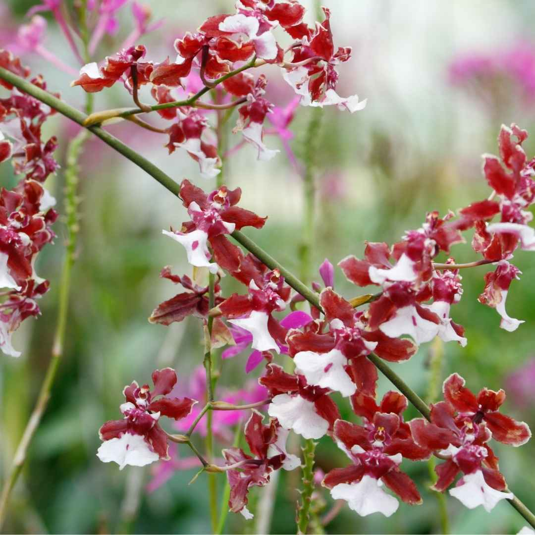 Sharry Baby Orchid