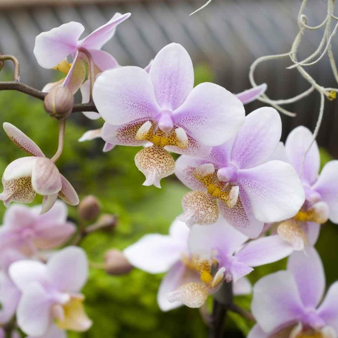 Spirit Orchid