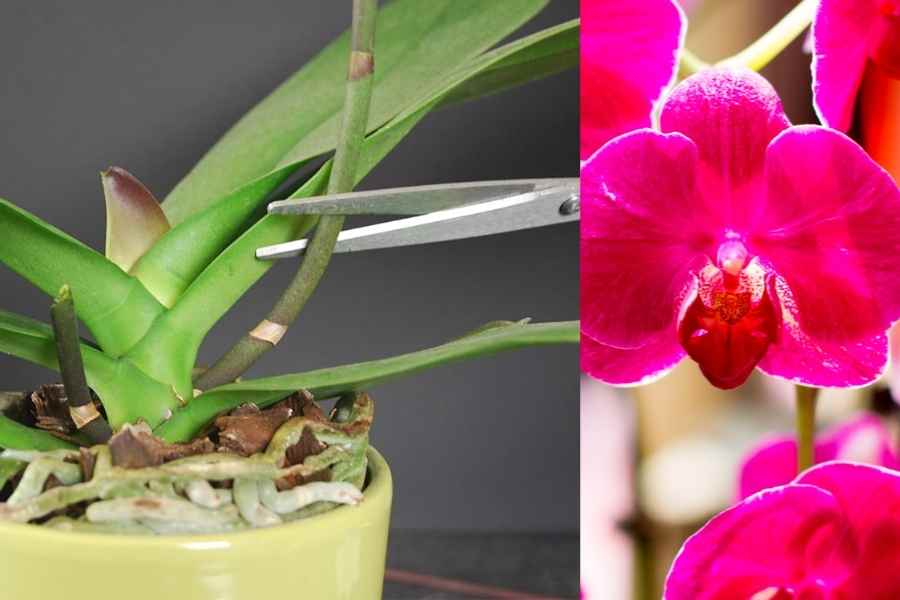 After Phalaenopsis Blooms Fall