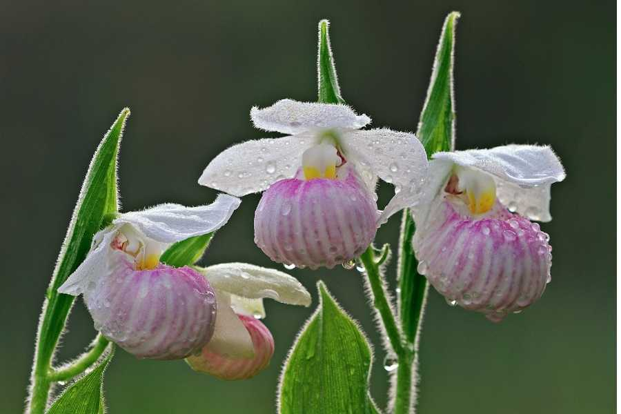 Showy Lady's Slipper Orchids