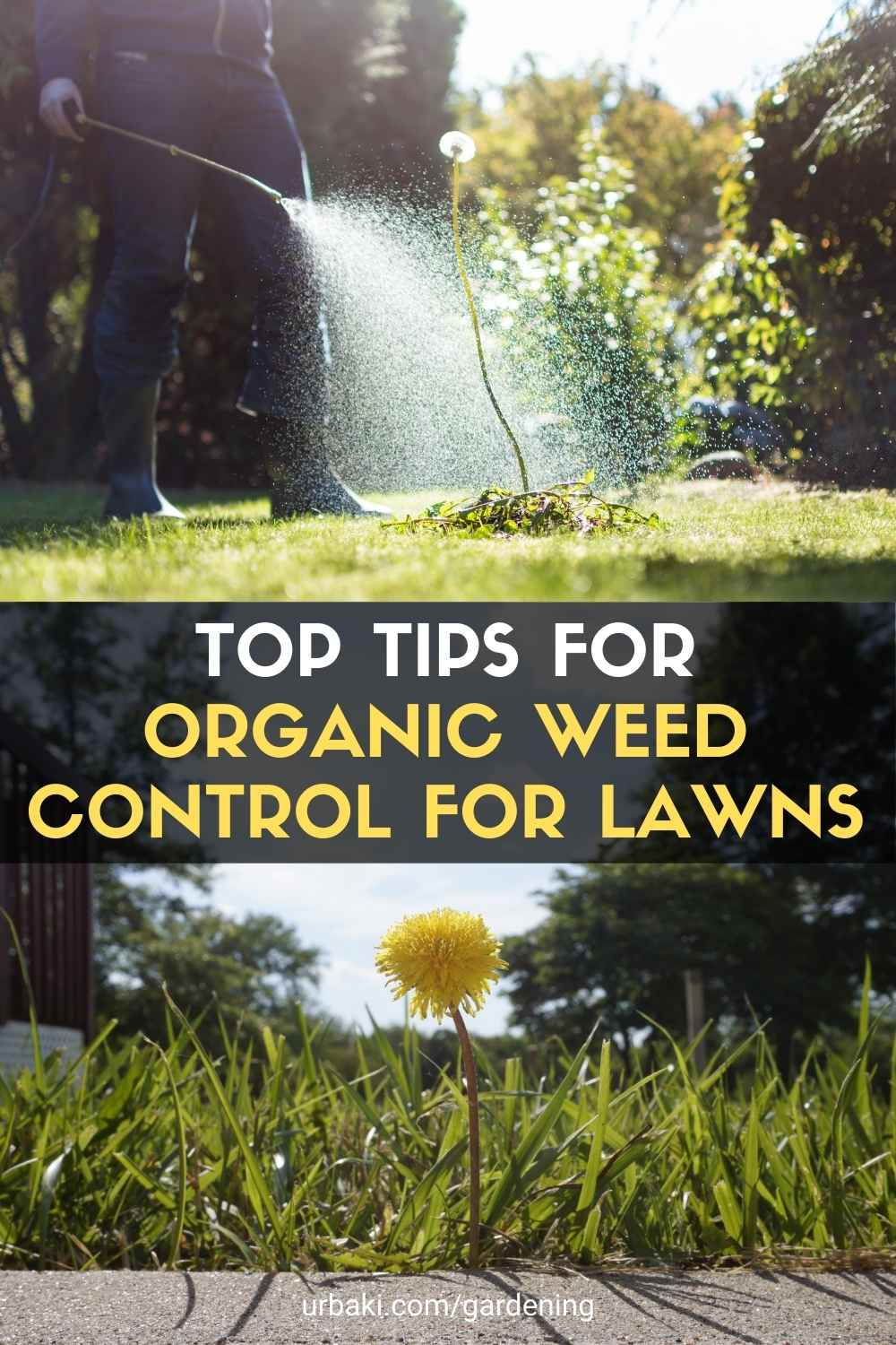 Organic Weed Control for Lawns
