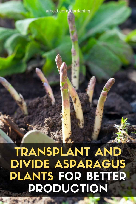 Transplant asparagus