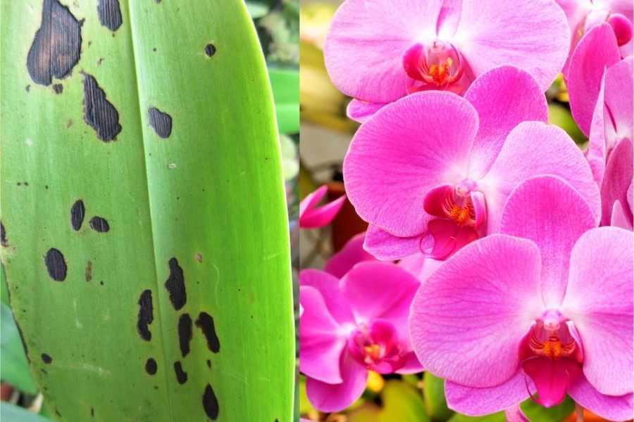 Black Spots Orchid