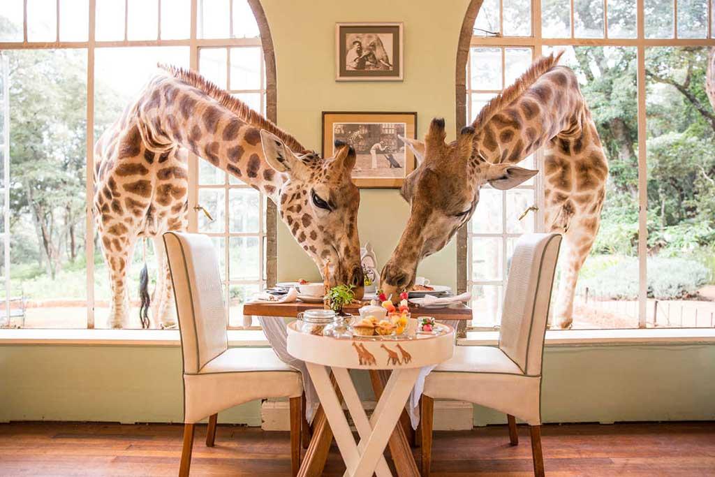 Share a Breakfast with Giraffes